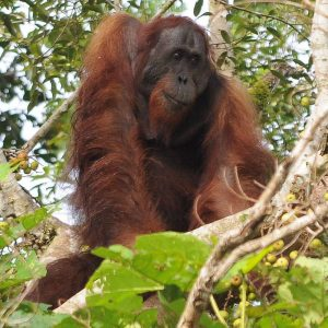 Sepilok Orangutan Sanctuary Half Day Tour, Sabah, Malaysia