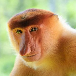Labuk Bay Proboscis Monkey Sanctuary & Sepilok Sanctuary Day Tour, Sabah, Malaysia