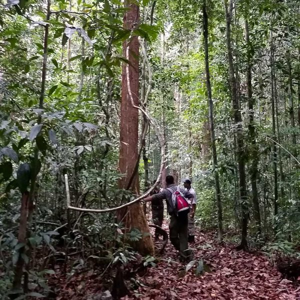 Primary rain forest of Sepilok Forest Reserve