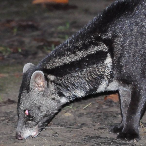 Tabin Wildlife Reserve - Nocturnal Wildlife