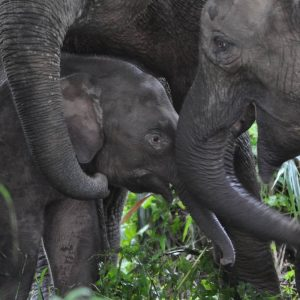 Tabin Wildlife Reserve - Bornean Pygmy Elephants