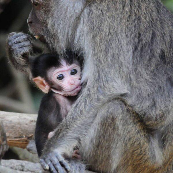 Macaques | Kinabatangan Wildlife Sanctuary