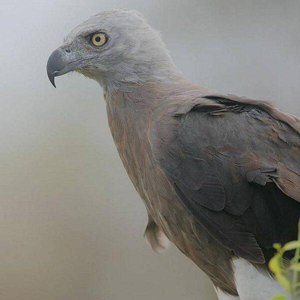 Greay Headed Fish Eagle | Birding Tours in Borneo
