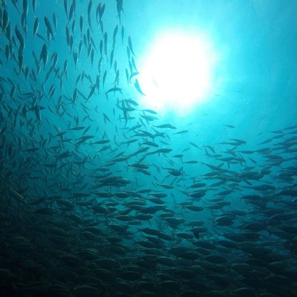 Shoal of Yellow Snappers