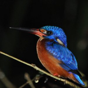 Blue Eared Kingfisher | Birds of Borneo