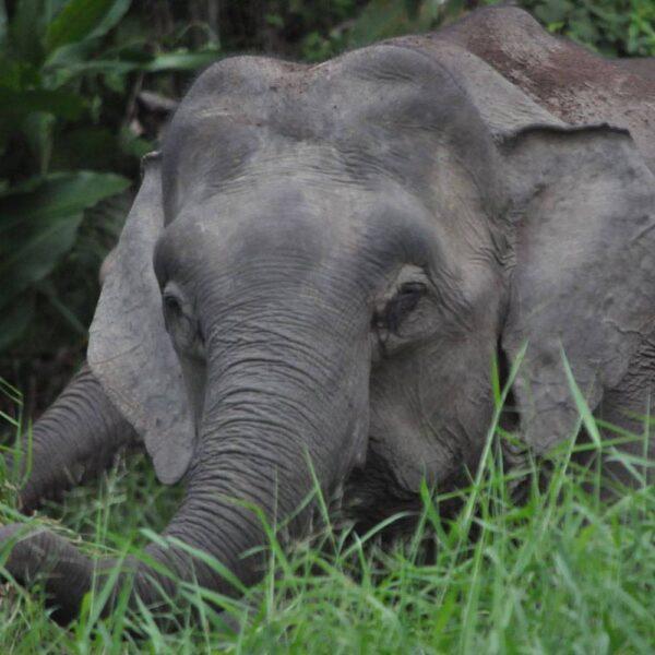Bornean elephants of the Kinabatangan River Area, Sabah