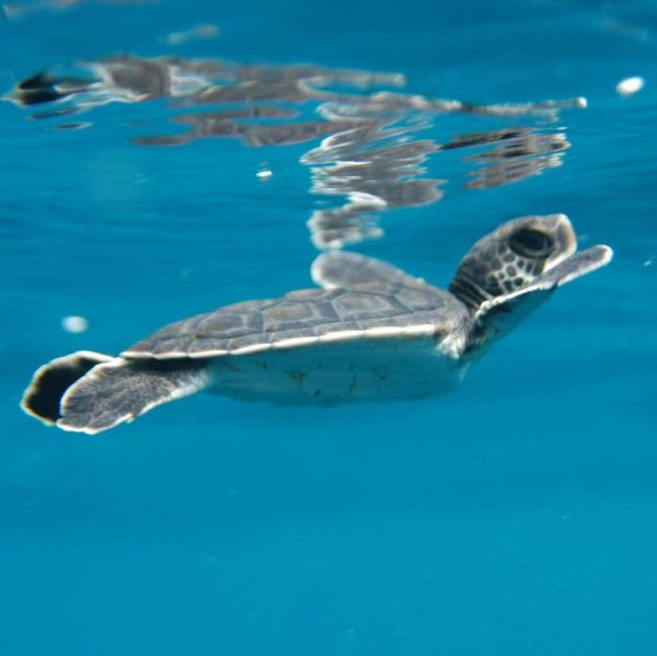 Baby turtle swim on surface with Borneo Dream