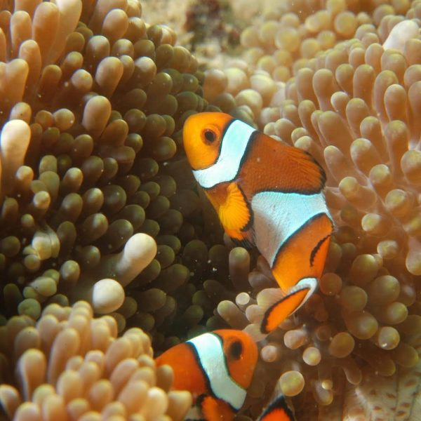 Marine conservation | Clown Fish