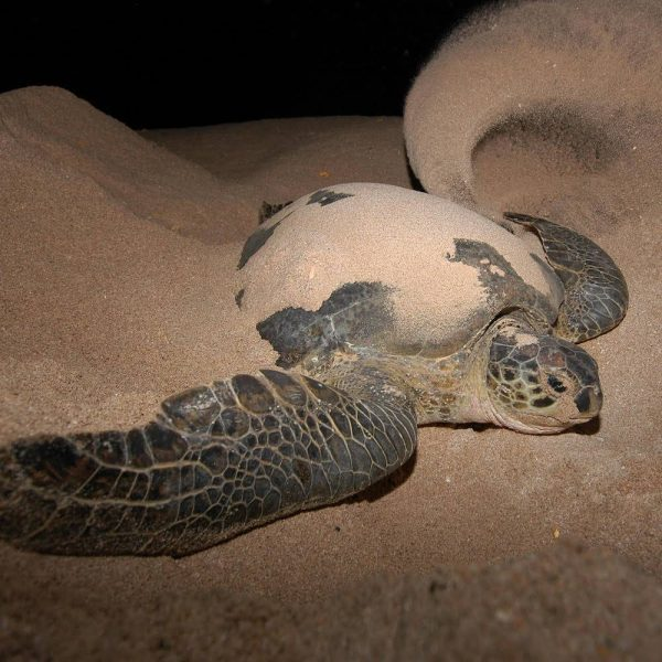 Nesting turtles in Sabah with Borneo Dream