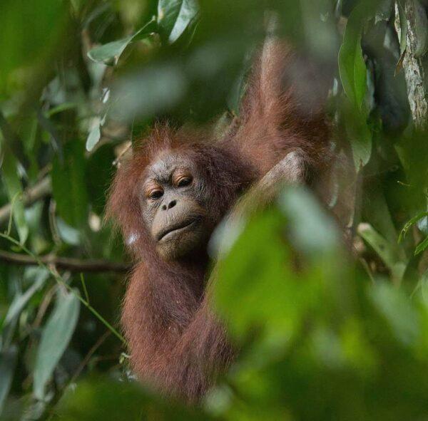 Orangutan in Danum Valley