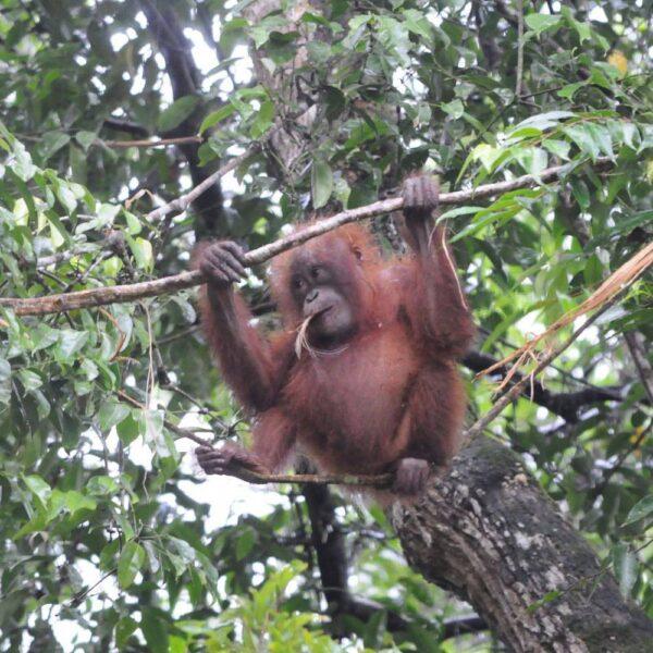 Orangutan in the trees in Kinabatangan River area