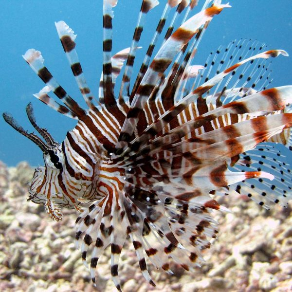 PADI Scuba Diver Upgrade Course | Lion Fish