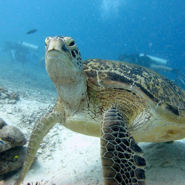 PADI Scuba Diver Upgrade Course | Green Turtle