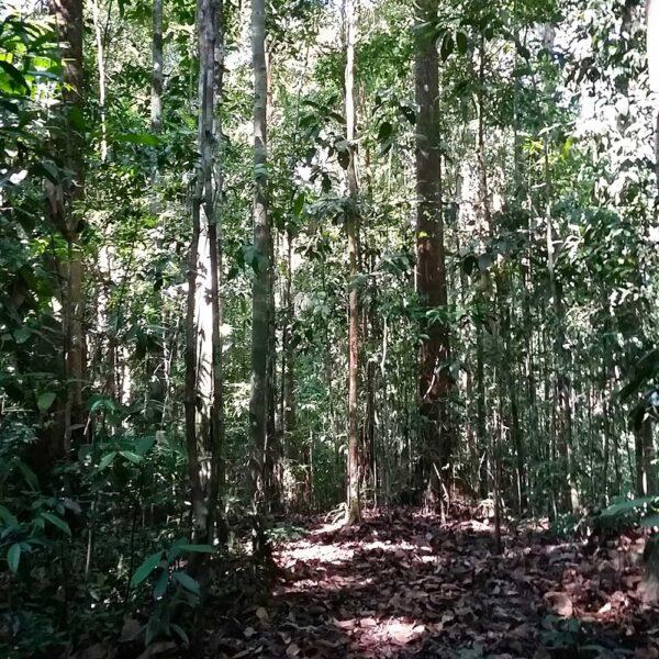 Tall trees in Sepilok Laut Forest Reserve Trek