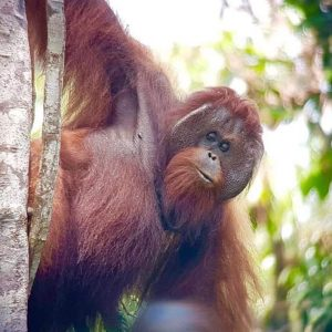 Orangutan in the Kinabatangan Wildlife Sanctuary