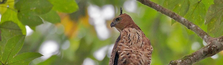 Wallace Hawk Eagle | Birds of Borneo
