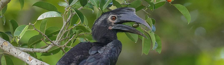 Black Hornbill | Kinabatangan River