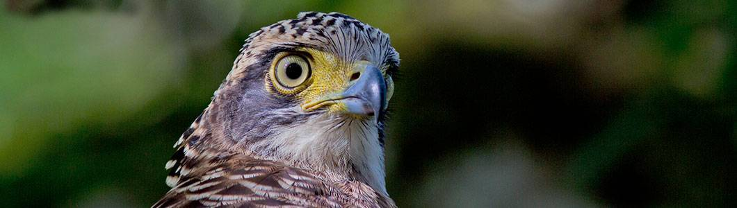 Tabin Wildlife Reserve - Crested Serpant Eagle
