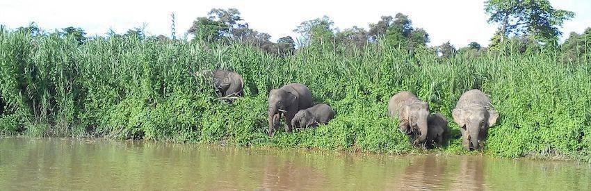 Bornean Pygmy Elephants along the banks of the Kinabatangan River
